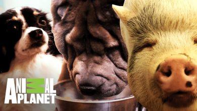 Top 5: Las mascotas gordas más tiernas | Kilos de mascotas | Animal Planet